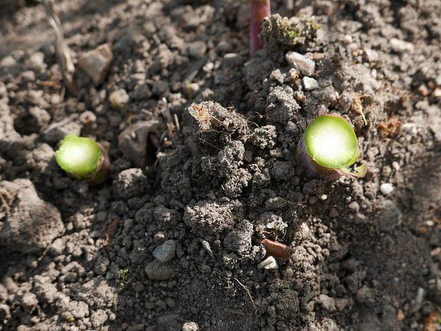 ดินปลูกหน่อไม้ฝรั่ง