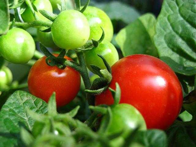 มะเขือเทศ Tomato