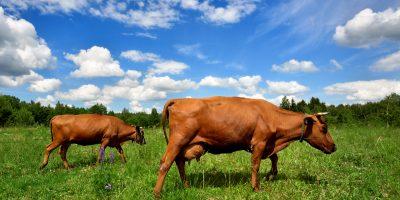 ฉี่วัว
