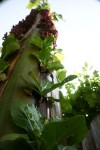 การปลูกผักในต้นกล้วย ชุ่มฉ่ำ ไม่ต้องรดน้ำ ผักรสหวาน